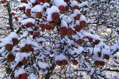 Ale-dlaczego-jablka-marzną-w-sadzie-przy-ul.-Liliowej